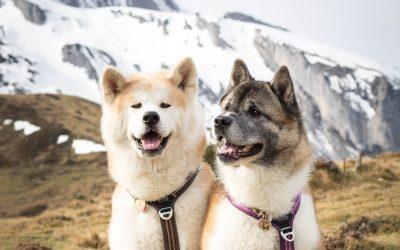THE AKITA, THE GREAT JAPANESE DOG